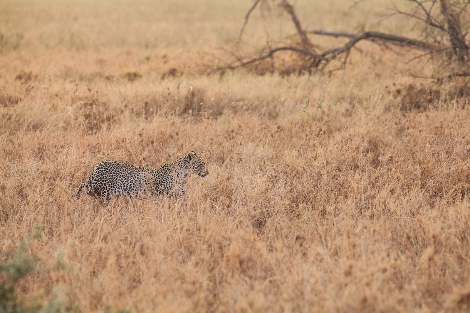 leopard erengeti tall grass