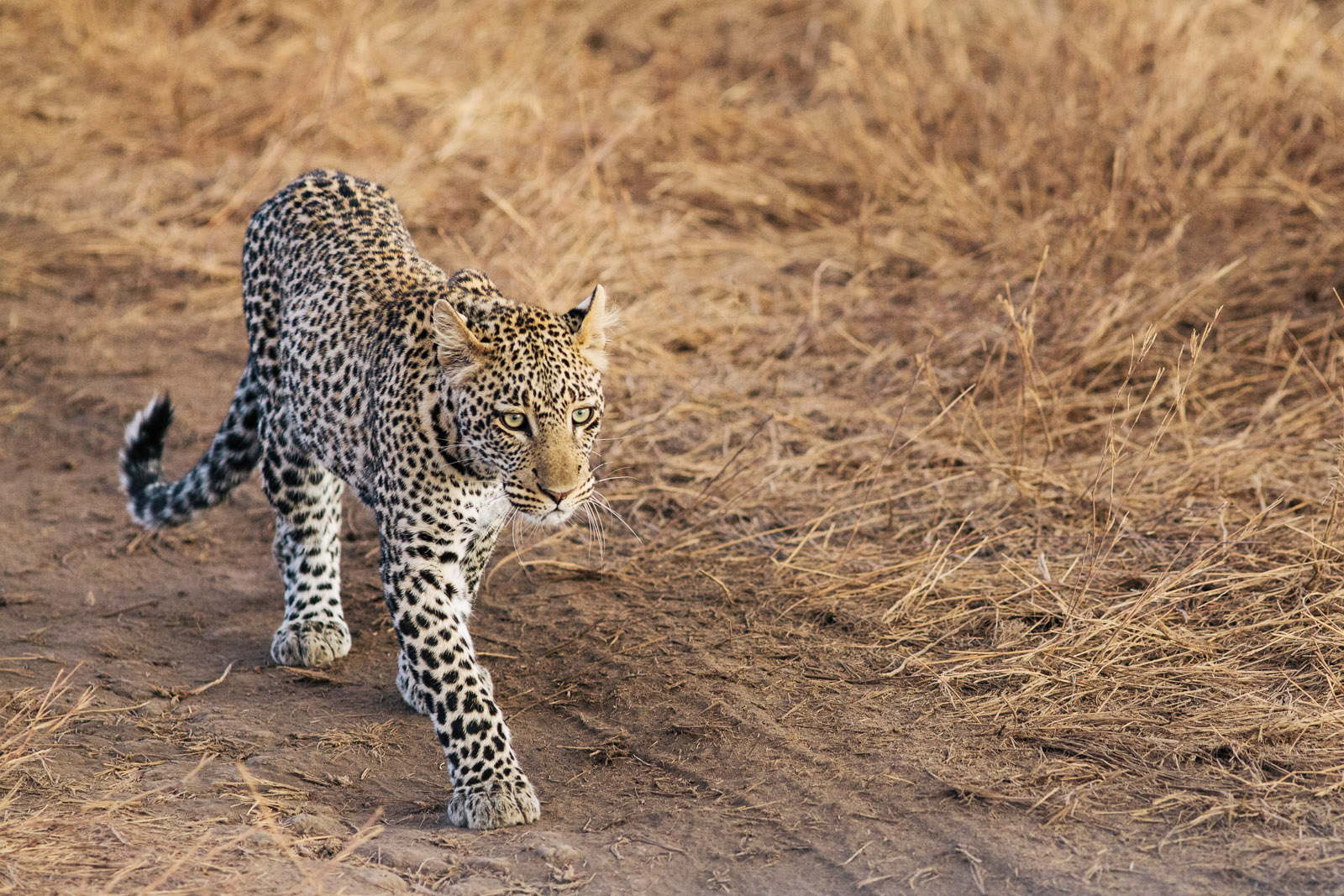 leopard serengeti walking