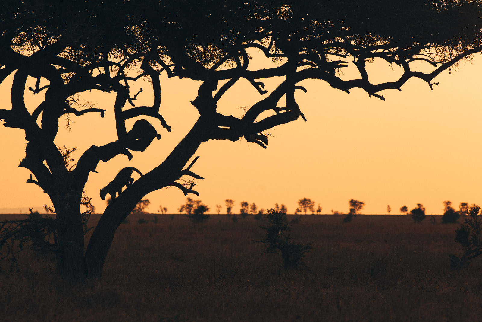leopard serengeti tree sunset